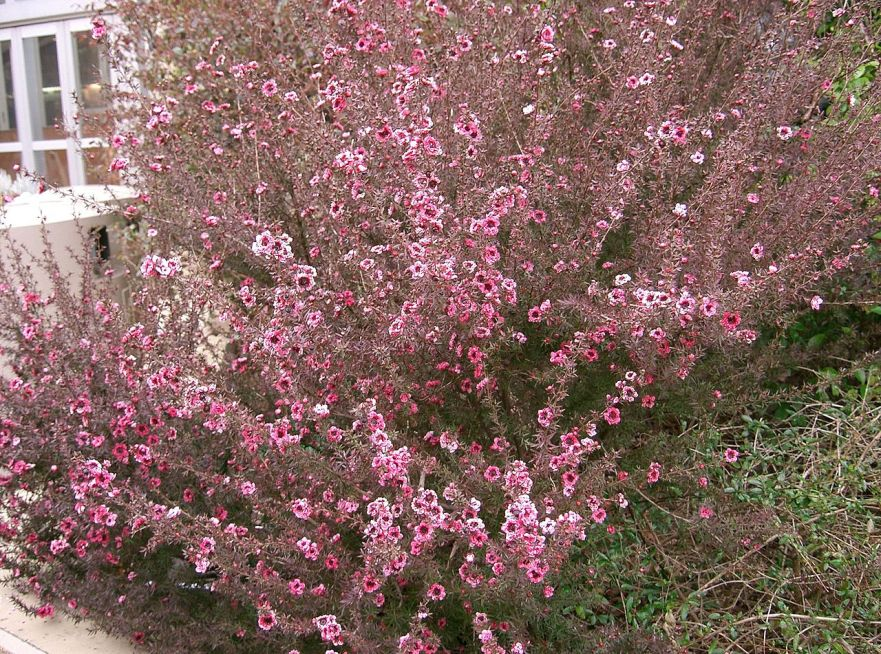 1280px-Leptospermum_scoparium1